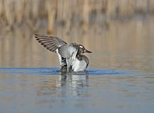 A male garganey bathes in water with wide open wings. And reflection Stock Photography