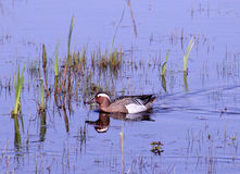 Male Garganey Duck Royalty Free Stock Photo