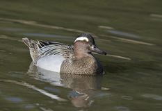 Male Garganey Duck. On water - Anas querquedula Stock Photo