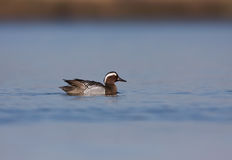 Male Garganey at Pomorie lake Stock Images