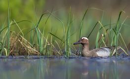 Male Garganey swimming in blue colored spring lake with green water plants royalty free stock photo