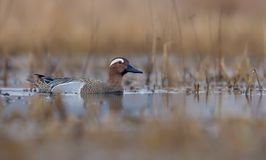 Male Garganey floats in yellow colored spring lake with plants stock image