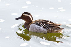 Male garganey which floats Royalty Free Stock Photo