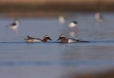 Male Garganeys at Pomorie lake Royalty Free Stock Photo