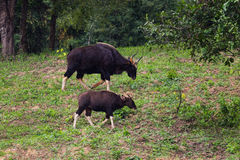 Male Gaur  (Bos gaurus laosiensis) Stock Photos