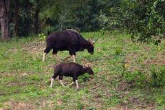 Male Gaur  (Bos gaurus laosiensis) Stock Photos
