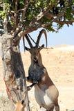 Male Gazelle of the Desert. Israel Stock Photos