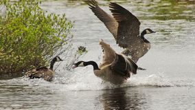 Male Geese Fighting For The Attention Of A Female During Mating Season In Early Spring Royalty Free Stock Images