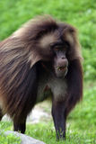 Male Gelada baboon. (Theropithecus gelada) (captive royalty free stock photos