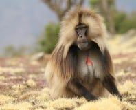 Free Male Gelada Baboon (Heropithecus Gelada) Royalty Free Stock Images - 77407859
