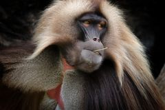 Male Gelada Baboon is posing royalty free stock images