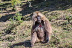 Male gelada baboon sitting on highland slope Royalty Free Stock Images