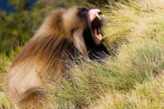 Male gelada baboon. (Theropithecus gelada) showing his fangs, Semien mountains, Ethiopia stock photos