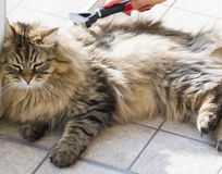 Cute kitten in brushing time. male siberian cat. Male gender of siberian cat in brushing time. brown tabby color Royalty Free Stock Photos