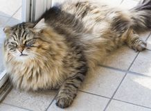 Tender cat lying at the window, brown tabby male. Male gender of siberian cat, long haired brown tabby color. Hypoallergenic kitten of livestock Royalty Free Stock Photos