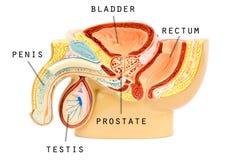 Male genital anatomy. On a white background stock illustration
