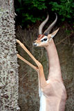 Male Gerenuk Stock Images
