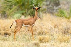 Male Gerenuk, Face On Royalty Free Stock Photography