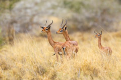 Male Gerenuk. Two male Gerenuk, aka Giraffe necked Antelope or Wallers Gazelle, with a female in the background. The males are mid-aged and their horns are not Stock Photography