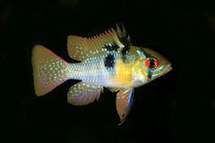 Male German Ram Tropical Fish Isolated on Black Stock Images
