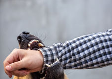Male German shepherd bites a man by the hand. A male German shepherd bites a man by the hand Royalty Free Stock Photos