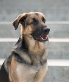 Male German Shepherd dog Royalty Free Stock Image