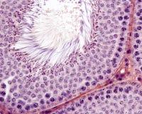 Male germinal epithelium. Spermatogenesis Stock Image