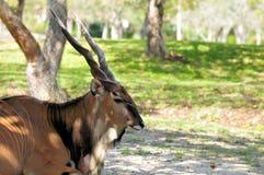 Male giant eland, Taurotragus derbianus Stock Photos
