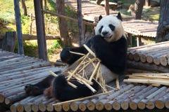 Male giant panda bamboo bear Chuang Chuang breakfast. Zoo of the city of Chiang Mai Royalty Free Stock Photos