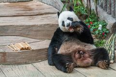 A male giant panda bear enjoy his breakfast royalty free stock images