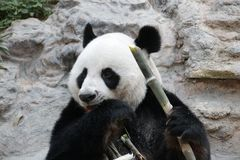 Male Giant Panda in Chiangmai, Thailand Royalty Free Stock Photography