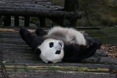 Male Giant Panda, Chongqing,China Stock Image