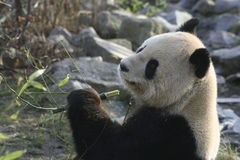 Male giant panda eating bamboo Stock Images