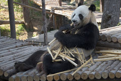 The male giant Panda eats bamboo Royalty Free Stock Photo