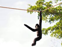 Male Gibbon monkey hanging on rope Royalty Free Stock Images