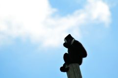 Male Gibbon monkey on top of pole Royalty Free Stock Photography