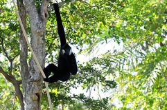 Male Gibbon monkey in tree Stock Images