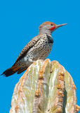 Male Gilded Flicker Perched Stock Photos