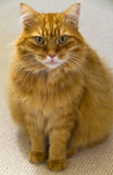 Male Ginger Longhaired Cat Sitting Stock Images