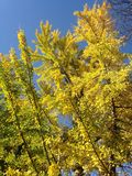 Male Ginkgo Biloba Tree in the Sun in the Fall. Male Ginkgo Biloba Tree in the Sun in Exchange Pace in Jersey City, NJ in the Fall Stock Image