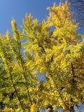 Male Ginkgo Biloba Tree in the Sun in the Fall. Stock Image