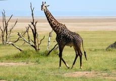 Male giraffe. A male giraffe walking slowly in the plain of the Manyara lake. Tanzania stock photo
