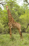 Male Giraffe. Closeup in the Kruger National Park, South Africa Stock Images