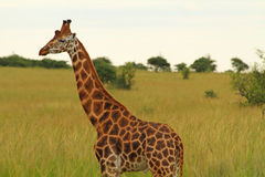 Male Giraffe Against Green Savannah. A male giraffe stands against a green savannah background having just finished urinating Royalty Free Stock Photo