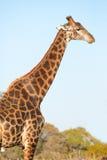 Male giraffe in bushveld Royalty Free Stock Image