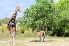 Male Giraffe & His Baby Royalty Free Stock Photo