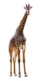 Male giraffe isolated on white background. Look beautiful Royalty Free Stock Photo