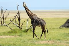 Male giraffe. Manyara, Tanzania Royalty Free Stock Photography