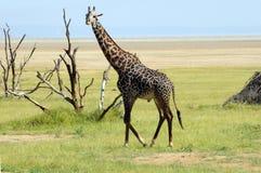 Male giraffe. Manyara, Tanzania Royalty Free Stock Photography