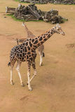 Male giraffe with two calves Royalty Free Stock Photo